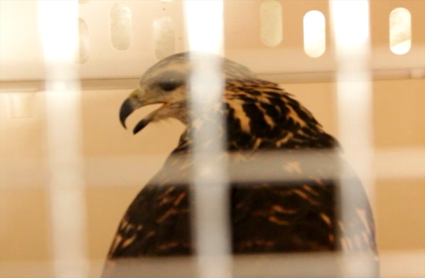 Belize-bird-rescue-hawk